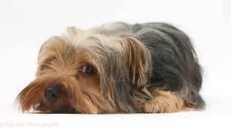 Dog: Yorkshire Terrier photo - WP29546
