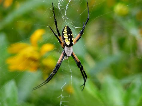 yellow pa black and yellow spider in pa pictures to pin on pinsdaddy