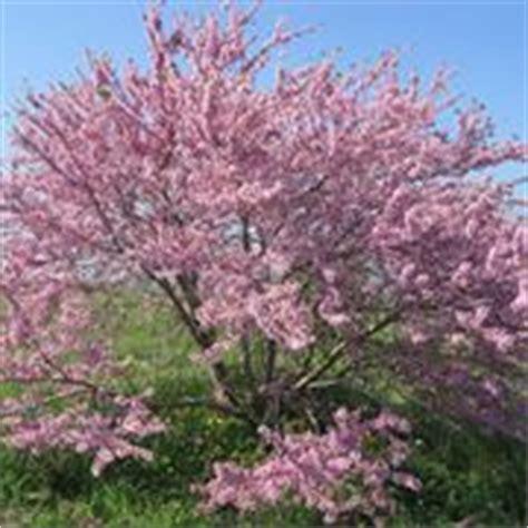 arbusto con fiori violacei albero di giuda cercis siliquastrum alberi il
