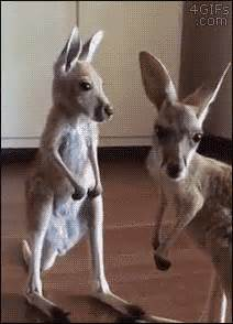 cute baby kangaroo scratches  itch