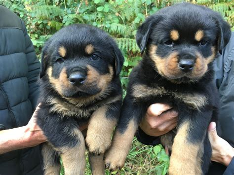 rottweiler puppies rottweiler puppies for sale wareham dorset pets4homes