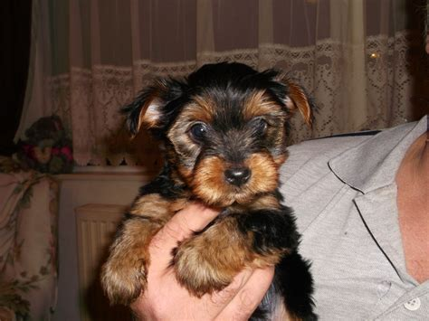 standard size yorkie puppies for sale terrier puppies for sale