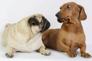 pug mix dachshund information about pug dachshund pugsund daug mix breed