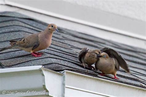 mourning dove family catandturtle