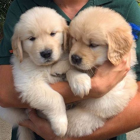 golden retriever puppies midwest 1000 ideas about golden retriever puppies on golden retrievers retriever