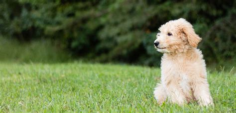 goldendoodle puppy itching top 5 best shoos for goldendoodles in 2017 dogstruggles