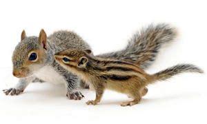 scoiattoli volanti giapponesi gli scoiattoli il genere tamias best5 it