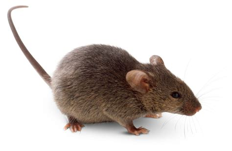 what is a rodent list of rodents dk find out
