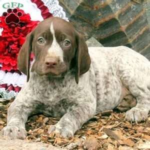 german shorthaired pointer puppies for sale in ny german shorthaired pointer puppies for sale in de md ny nj