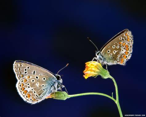 imagenes de mariposas posadas en flores fotos de mariposas posadas en flores images