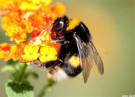 Bumble Bee | Animal Wildlife