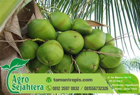 Harga Bibit Kelapa Hibrida Di Medan jual bibit kelapa hibrida di medan