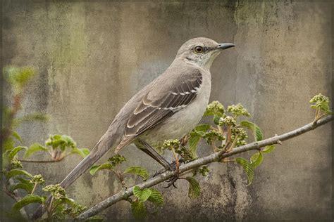 to still a mockingbird photograph by kathy clark