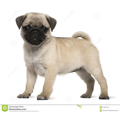 3 month pug puppy pug puppy 3 months standing stock image image 14847641