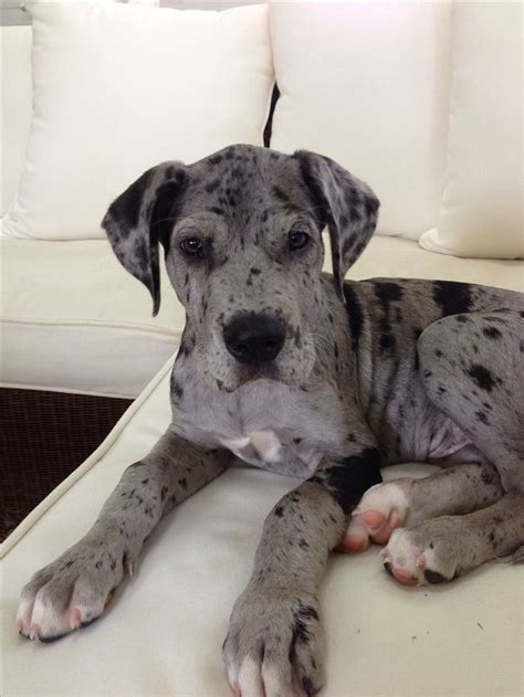 great daniff puppies for sale 78 best ideas about mastiff mix on big dogs