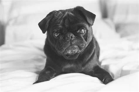 pug photography 5 simple tips for indoor pug photography the pug diary