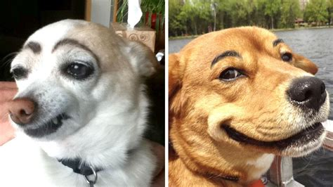 with eyebrows dogs with eyebrows is one of the funniest things on the interwebs so bad so