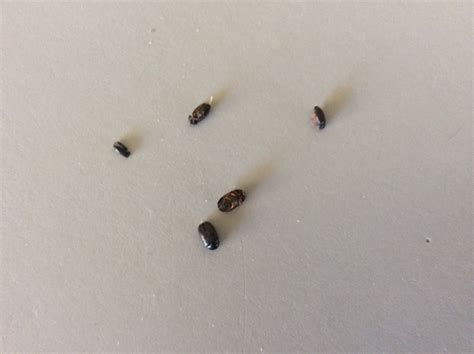 small beetles in bed identify bugs ask an expert