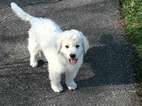 kuvasz puppies for sale adorable kuvasz puppies for sale now 20 dogs puppies for sale