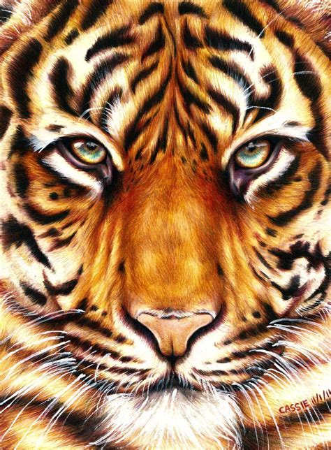 tiger color tiger amazing animal drawings from great pencils