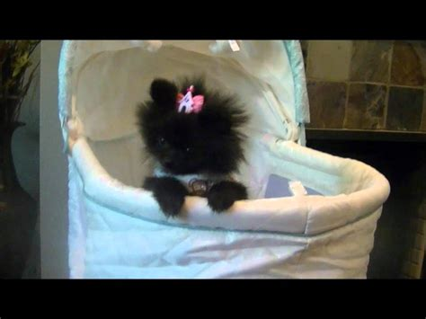 pomeranian boutique baby pomeranian black images