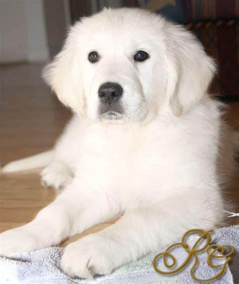 golden retriever puppies shelter 1163 best great pyrenees images on mountain