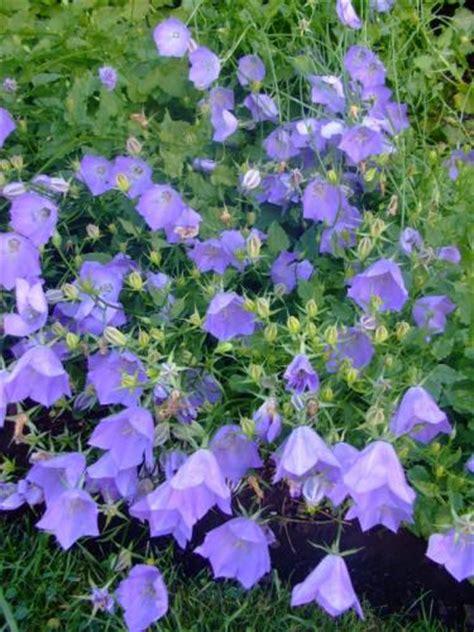 canula carpatica carpathian bellflower tussock