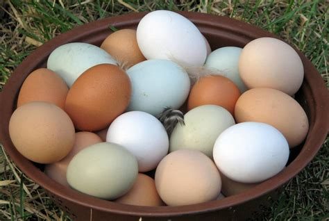 what you need to know before you buy organic eggs ramona certified farmers market