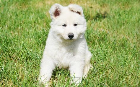 white swiss shepherd puppies white swiss shepherds puppies breed information puppies for sale