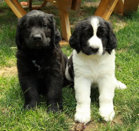 golden retriever breeders newfoundland newfoundland x golden retriever puppies puppies for sale dogs for sale in ontario
