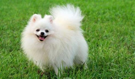 mini pomeranian lifespan 31 cutest small breeds that are best for apartment