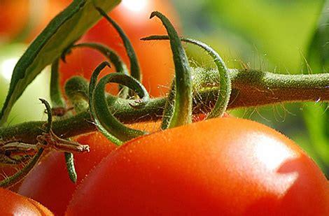 Planter Tomates En Pot by Planter La Tomate En Pot Ou En Pleine Terre Au Potager