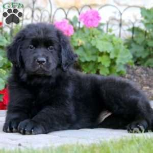 newfoundland puppies in pa newfoundland puppies for sale newfy breed profile greenfield puppies