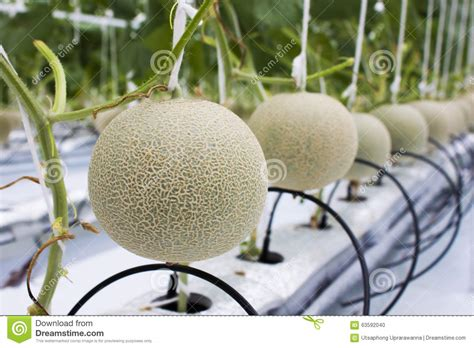 gardening hydroponics learn the amazing of growing fruits books melon fruits in hydroponic melon farm stock photo