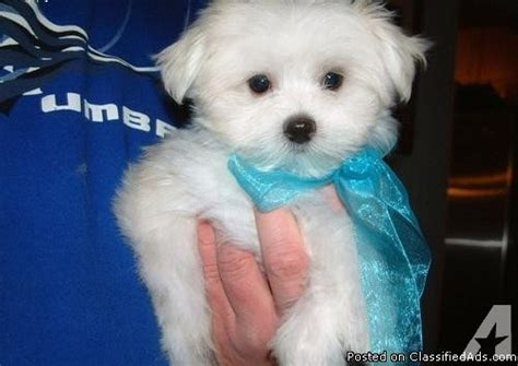 maltese puppies for sale houston teacup maltese puppies for sale in houston classified americanlisted