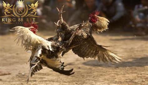 bandar judi sabung ayam terpercaya solusi sukses  bermain
