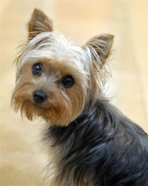 what are yorkies known for terrier 10 cose da sapere velvet pets italia