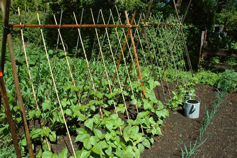 How To Grow Green Beans On A Trellis beans growing on poles harvest to table