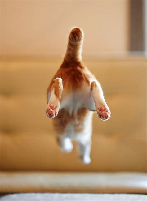 How To Stop A Cat From Jumping On Furniture by 52 Jumping Cats At Play Look Like Ninjas Designbump