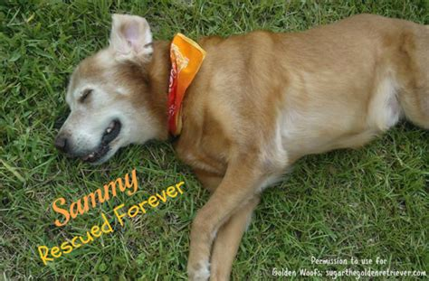 cancer golden retrievers symptoms sammy my golden friend fighting canine cancer golden woofs