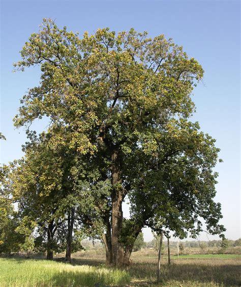image of tree mahua madhuca longifolia feedipedia