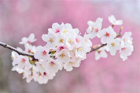 cherry blossom facts 100 cherry blossom facts how to get 300 real