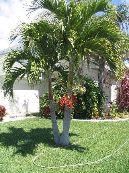 christmas palm trees veitchia merillii palm trees