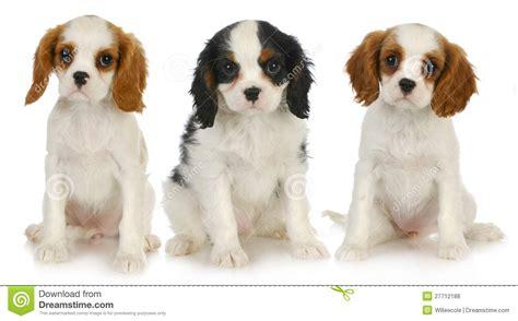 three puppies three puppies royalty free stock photos image 27712188