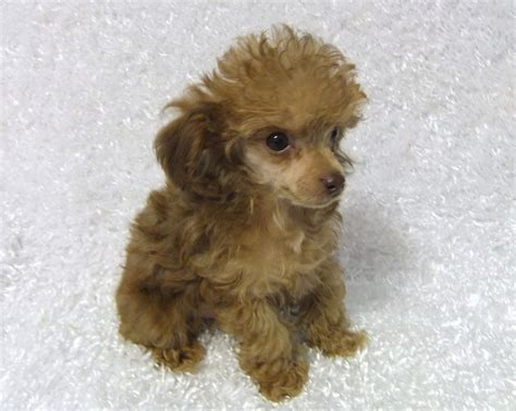 puppy teacup pin teacup poodle puppies for sale breeder ca on