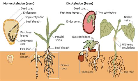 difference between monocot and dicot leaf cross section differences between monocot and dicot candace jordan class
