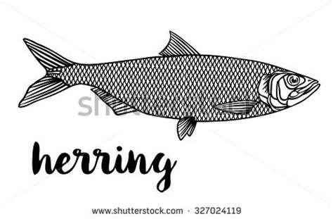 herring fish coloring page pilchard stock images royalty free images vectors