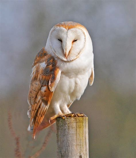 Barn Owl barn owl amazing animal basic facts pictures animals lover