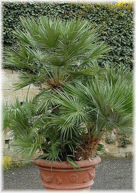 Bärlauch Pflanzen Kaufen 249 by Zwerg Palme Chamaerops Humilis G 252 Nstig Kaufen