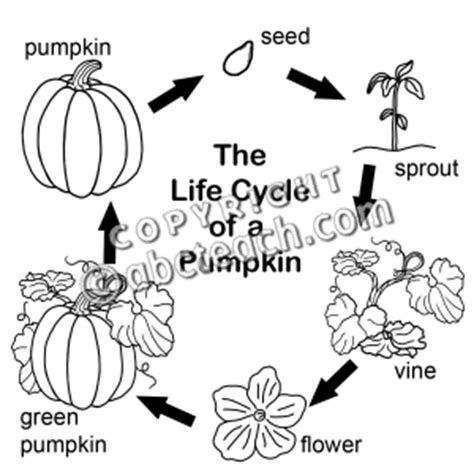life cycle of a pumpkin coloring page pumpkin life cycle coloring pages printable sketch